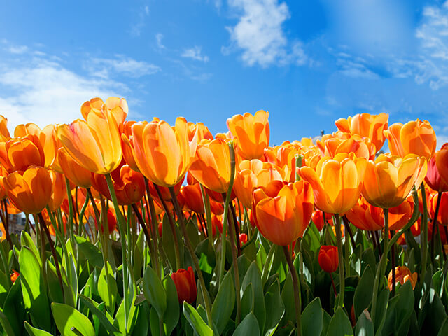 image of an orange tulip field